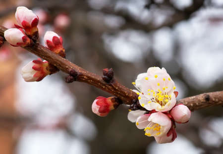 apricot tree: Apricot tree blossom flower. Spring flowering apricot Stock Photo