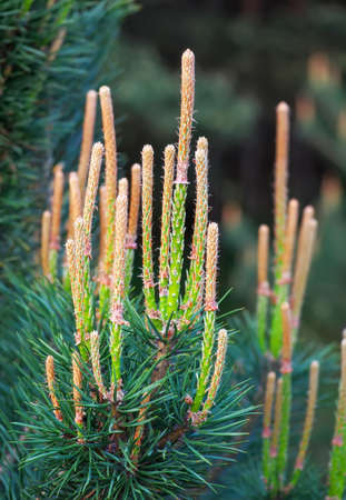 piny: Close-up photo of young pine branches. Green fir tree or pine branches