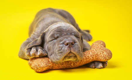 molosse: Beautiful young grey puppy italian mastiff cane corso (1 month) sleeping on toy bone on yellow background