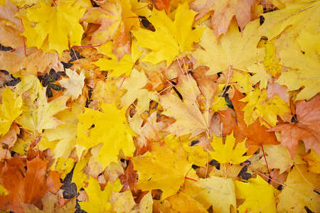 chaotically: Background from autumn leaves. Fallen leaves background.