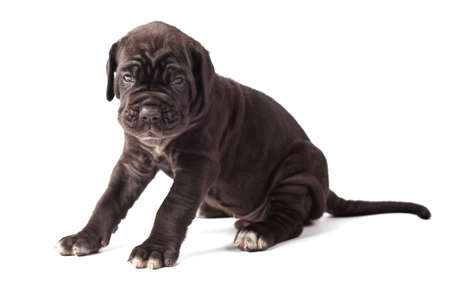 molosse: Beautiful young black puppy italian mastiff cane corso (1 month) on white background