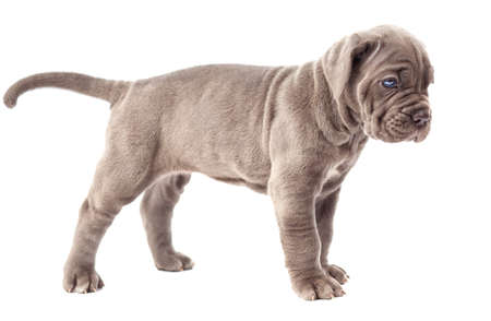 molosse: Beautiful young gray puppy italian mastiff cane corso (1 month) on white background Stock Photo