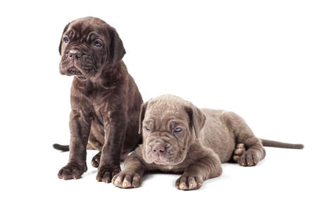 molosse: Two beautiful young puppies italian mastiff cane corso (1 month) on white background.