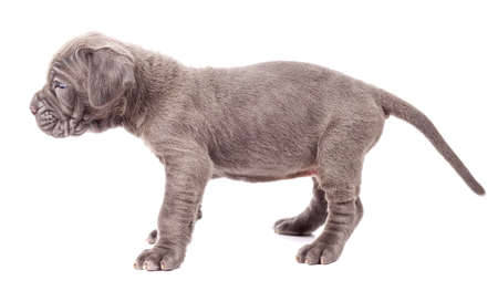 Beautiful young black puppy italian mastiff cane corso (1 month) on white background. Side view