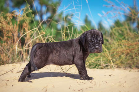 molosse: Beautiful young puppy italian mastiff cane corso (1 month) on the sand with dry grass