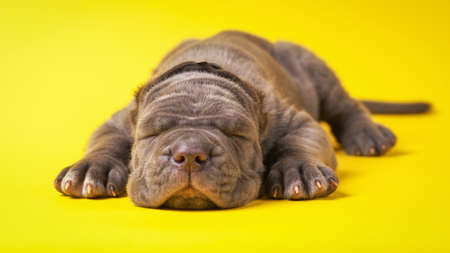 molosse: Young puppy italian mastiff cane corso lying on yellow background