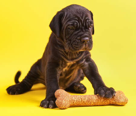 Beautiful young puppy italian mastiff cane corso (1 month) with toy bone on yellow background Stock Photo