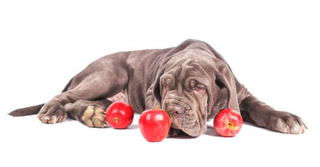 molosse: Young puppy italian mastiff cane corso and red apples on white background. Stock Photo