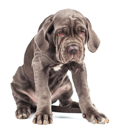 molosse: Young puppy italian mastiff cane corso on white background