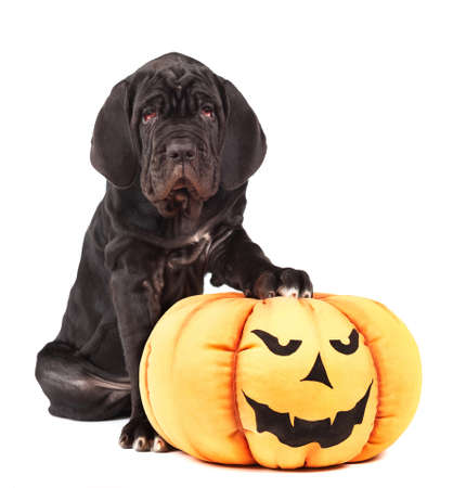 Italian mastiff cane corso with toy pumpkin to Halloween on white background Stock Photo