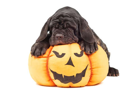 Italian mastiff cane corso on toy pumpkin to Halloween on white background Stock Photo