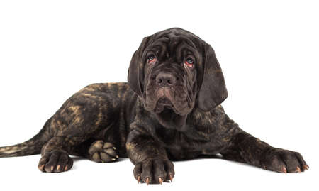 molosse: Beautiful young puppy italian mastiff cane corso on white background Stock Photo