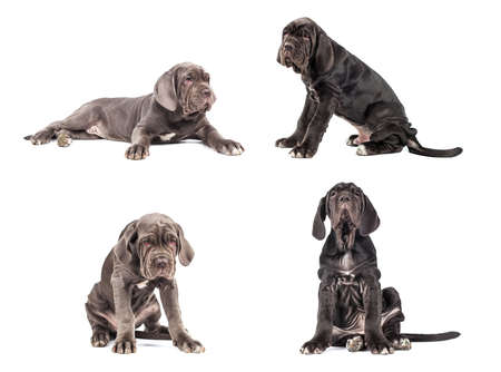 molosse: Collection of young puppy italian mastiff cane corso (3 month) on white background.