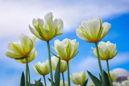 day flowering: Amazing view of colorful tulip flowering in the garden at summer or spring day. Stock Photo