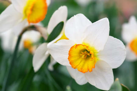 White narcissus growing in the garden. Narcissus poeticus  Stock Photo