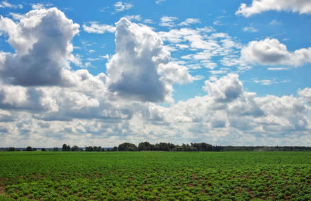 Beautiful landscape with field of potatos and cloudy blue sky.  Stock Photo
