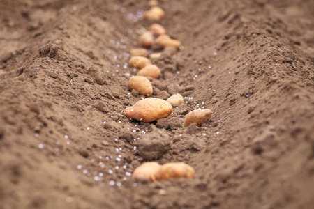Planting of potatoes in the garden. Seasonal work. Stock Photo