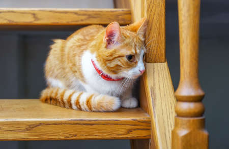 Adorable ginger kitten sitting on wooden steps. Orange cat looking down on up stair