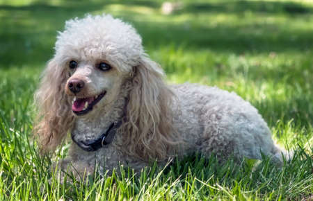 groomed: Dwarf poodle dog on the grass at the park