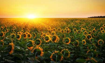 Sunflower fields during sunset. Digital composite of a sunrise over a field of golden yellow sunflowers.  Stock Photo