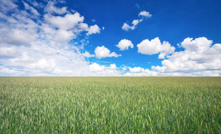 Beautiful landscape with field of rye and blue sky with clouds. Stock Photo