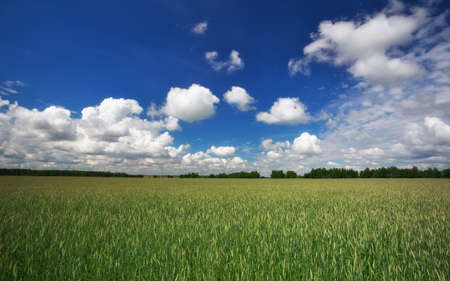 Beautiful landscape with field of rye and blue sky with clouds.
