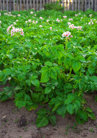 Field of potatoes on the land plot