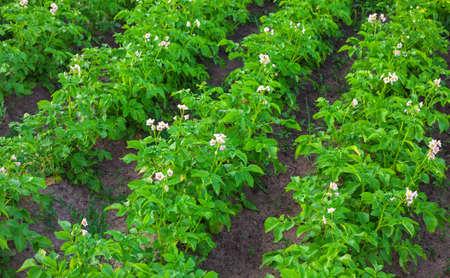 Field of potatoes on the land plot