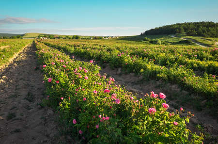 Field of blooming pink damask roses at Bakhchisaray, Crimea