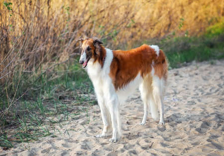 Russian Wolfhound Dog, Borzoi on the sand, Sighthound, Russkaya Psovaya Borzaya, Psovi. Killer of wolves. One of the fastest hunting dogs in the world. Springtime, Outdoors, Close Up Portrait. Stock Photo