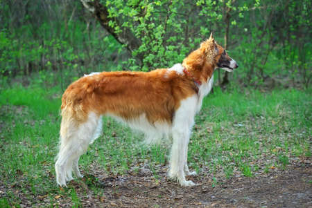 Russian Wolfhound Dog, Borzoi walk, Sighthound, Russkaya Psovaya Borzaya, Psovi. Hunter, Killer of wolves. One of the fastest hunting dogs in the world. Springtime, Outdoors