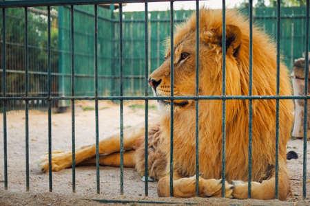 Un leone giace nella gabbia. Il maestoso re degli animali. Archivio Fotografico