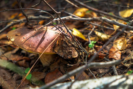 Mushrooms Cep growing in forest. Autumn Mushroom Picking.