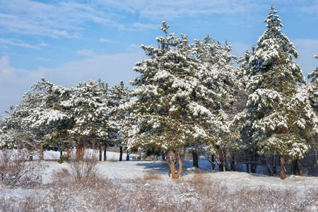 Majestic white spruces, covered with hoarfrost and snow, glowing by sunlight. Picturesque and gorgeous wintry scene.  Blue toning. Happy New Year! Beauty world.