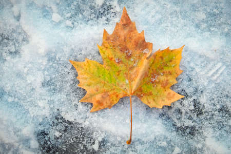 One beautiful colorful maple leaf on snow. Stock Photo