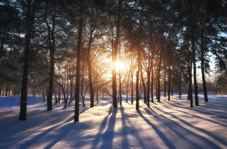 Sunset in a winter forest. Landscape with a coniferous forest in beams of sunrise Stock Photo