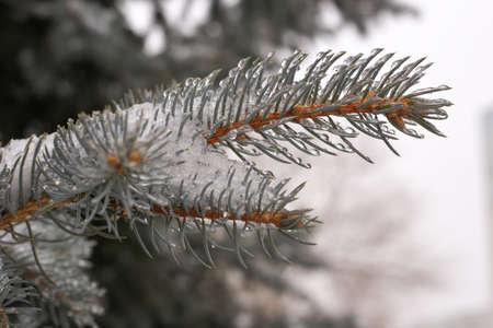 The branches of blue spruce or pine. Needles are covered with frost and water droplets. Christmas background. Stock Photo