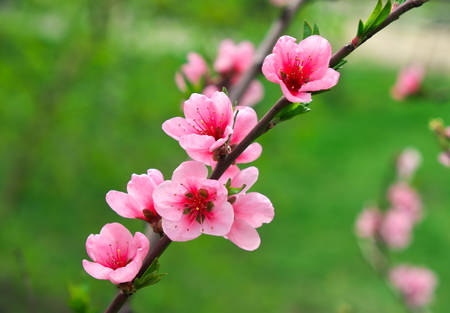 Pink flowers on a tree. Peach blossom at the park. Spring sunny day Stock Photo