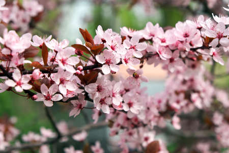 Pink flowers on a tree. Cherry blossom at the park. Spring sunny day