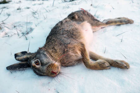 Dead hare on the snow. Winter hunting for hares. Stock Photo