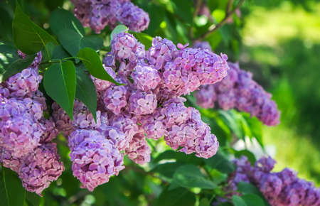 Purple lilac bush blooming in May day