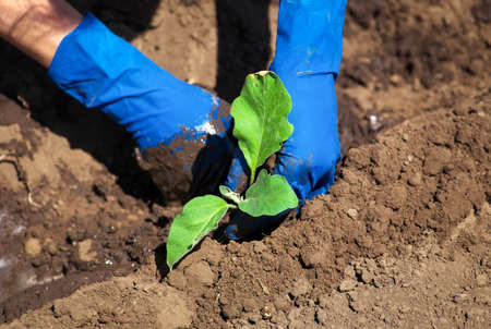 Woman hands in gloves put plants into the soil