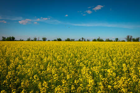 Yellow field rapeseed in bloom. Wide angle view of a beautiful field of bright canola in front of a forest 写真素材