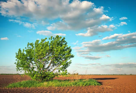 Spring landscape with an agricultural crops field and lonely tree 写真素材