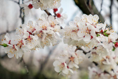Spring blossom background. Flowering apricots close up. 写真素材