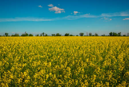 Yellow field rapeseed in bloom. Wide angle view of a beautiful field of bright canola in front of a forest 스톡 콘텐츠