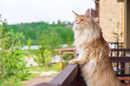 Big beautiful Maine Coon cat standing on the balcony and watching what's going on outside