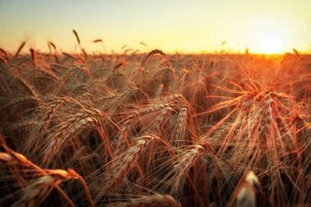 Campo de trigo. Cerca de espigas de trigo dorado. Hermoso paisaje al atardecer de la naturaleza. Paisaje rural bajo la brillante luz del sol. Fondo de maduración de espigas del campo de trigo del prado. Concepto de cosecha rica