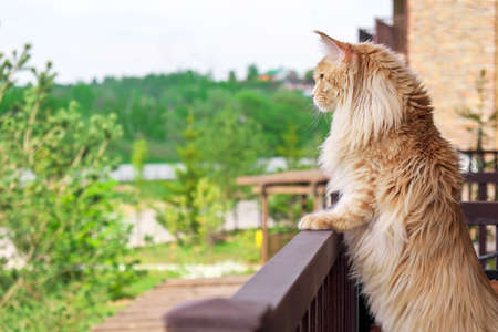 Big beautiful Maine Coon cat standing on the balcony and watching whats going on outside 스톡 콘텐츠