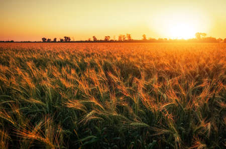 Wheat field at sunset. Beautiful evening landscape. Spikelets of wheat turn yellow. Magic colors of sunset light 스톡 콘텐츠